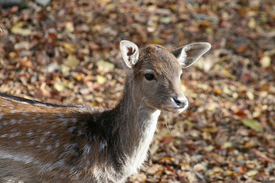 Verzorging vanhert of ree -Voeding van herten of reeën