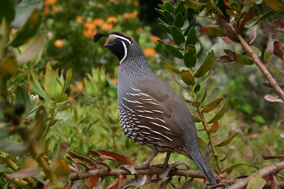 Quails are divided into ground quails, white quails and crest quails