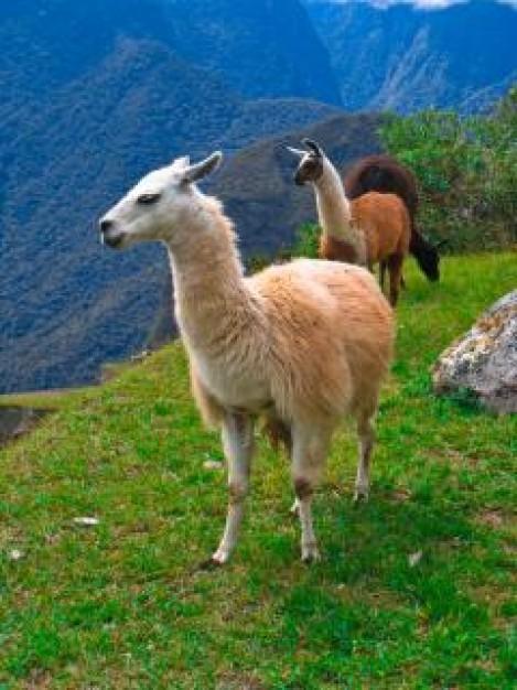 voeding en verzorging van lama's en alpaca's