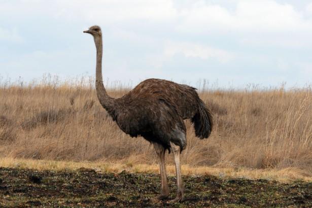 Producten die gebruikt kunnen worden voor Emoe & struisvogel