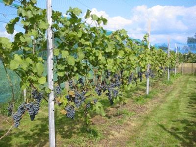 vineyard_metal_posts