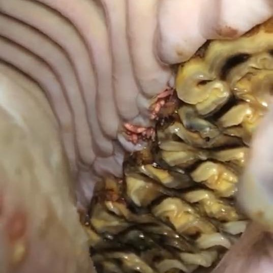 Horzellarven in de mond van een paard