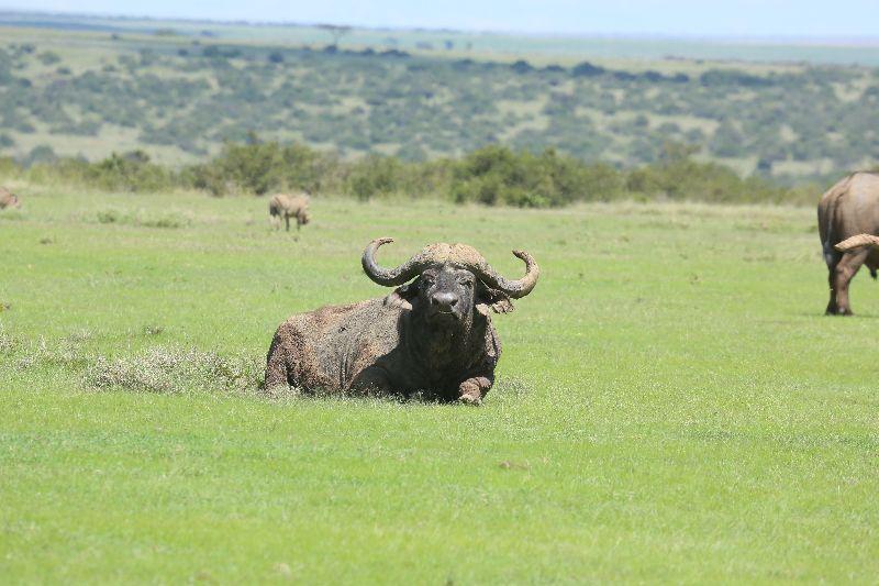 Kenia_buffel