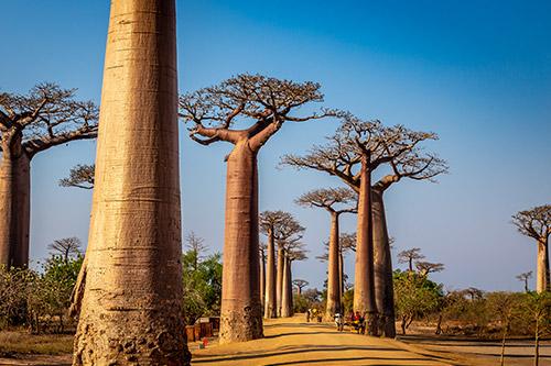 ALLÉE DES BAOBABS:  DE REUZEN VAN MADAGASKAR