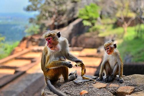 Apen in Dambulla